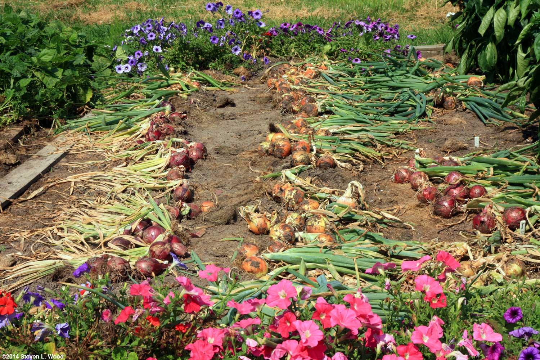 Senior Gardening: Growing Onions