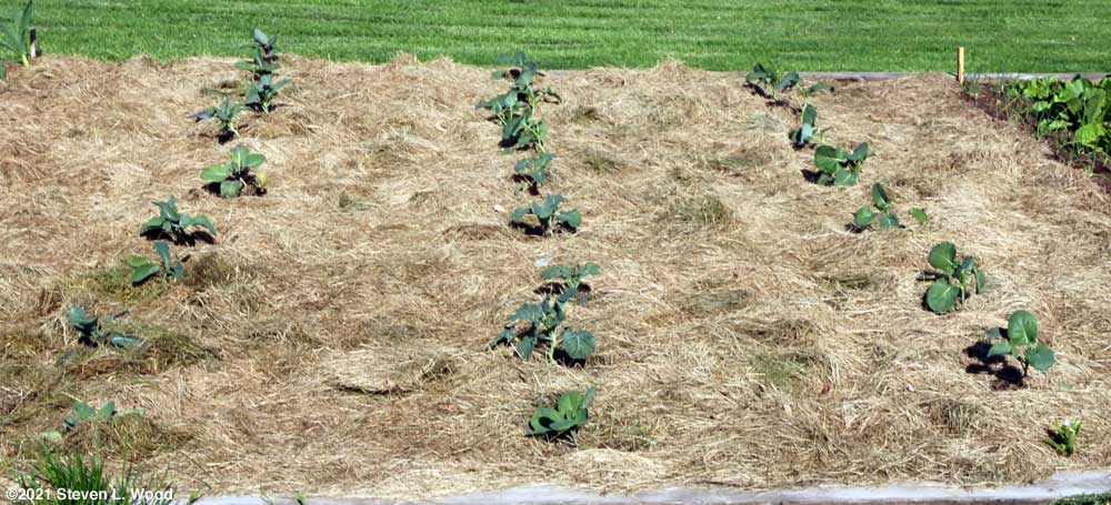 Brassica plants with cutworm collars removed