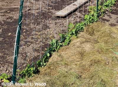 Partially mulched peas