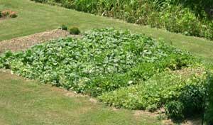 vining crops - plot A