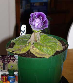 Gloxinia in kitchen