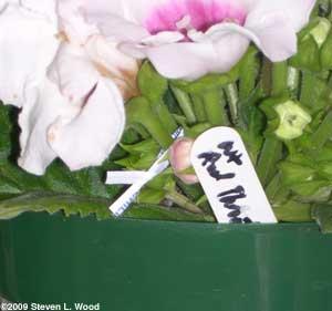Twist tie marking pollinated bloom