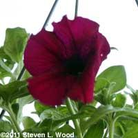 Hanging basket petunia