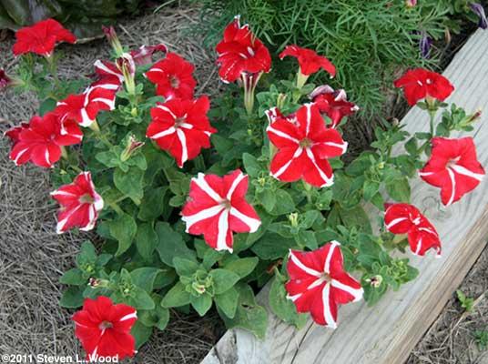 Star Petunias