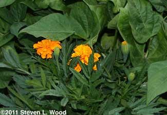 Marigold engulfed by bean plant