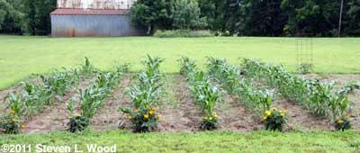 Marigolds marking corn rows