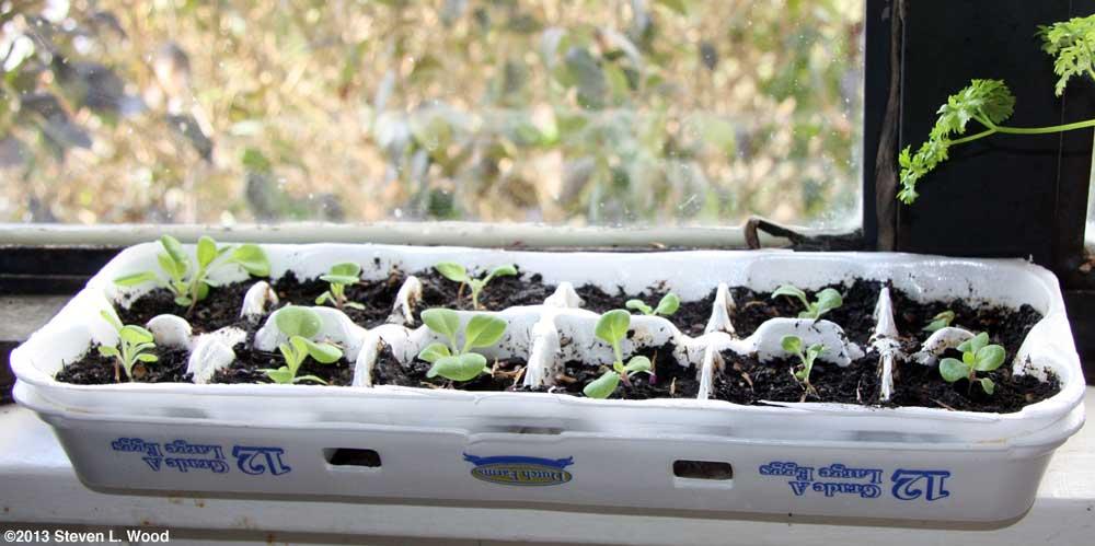 Egg Carton Petunias on Windowsill