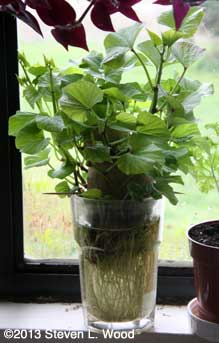 Sweet potato plant in glass