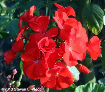 Maverick Red geranium bloom
