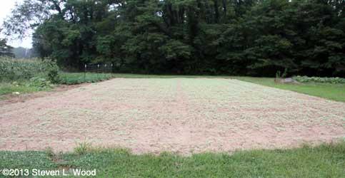 Emerging buckwheat 2