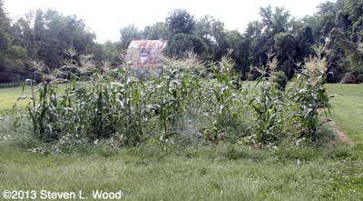 Weedy sweet corn patch