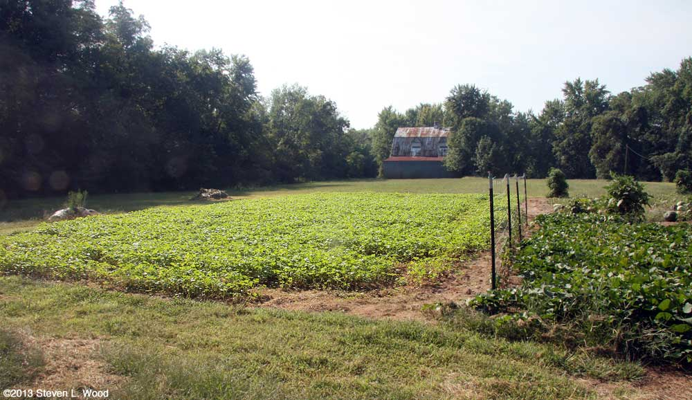 Buckwheat 17 days after seeding
