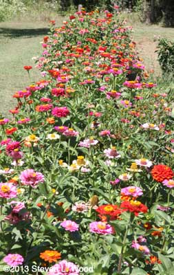 Long row of zinnias