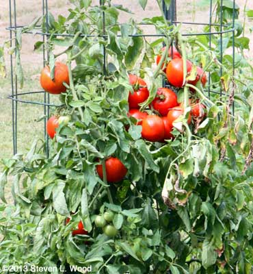 Earlirouge tomatoes