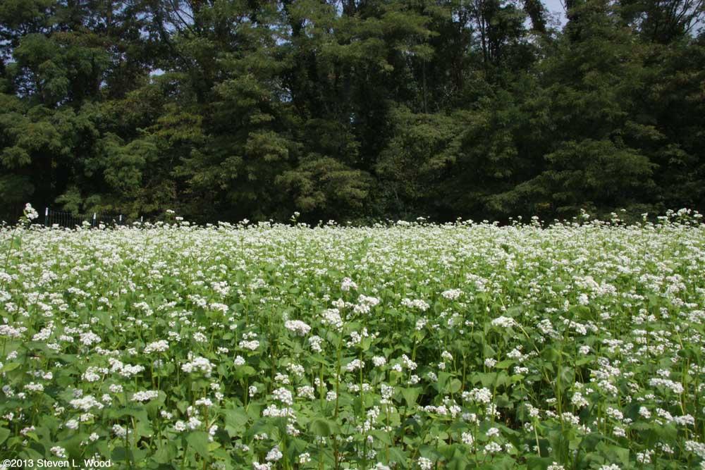 Buckwheat in full bloom