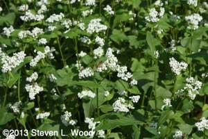 Bee and buckwheat