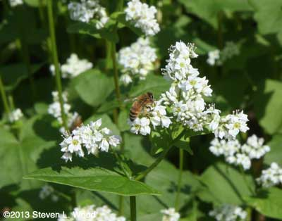 Honeybee on buckwheat