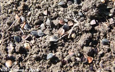 Buckwheat seed on ground