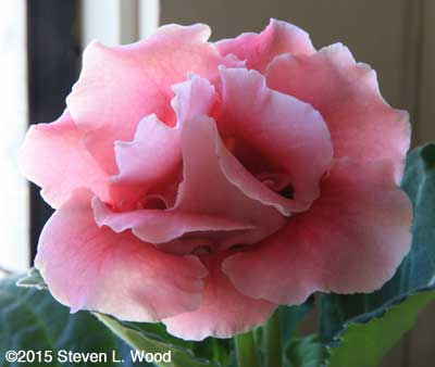 A lovely, pale pink, Double Brocade Bloom