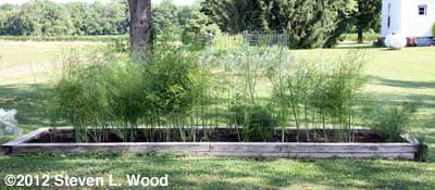 Asparagus in 2012 (raised bed)