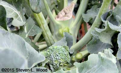 Broccoli sideshoot