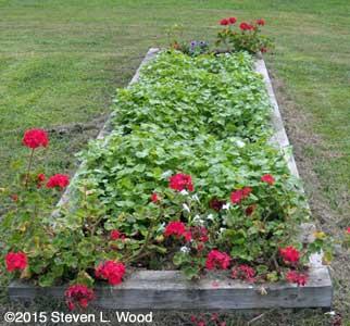Narrow raised bed seeded to buckwheat