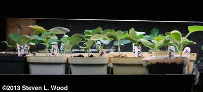 Melon transplants under plant lights