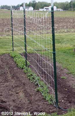 Single trellis for peas