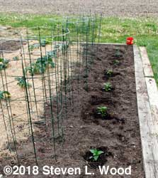 Row of peppers transplanted