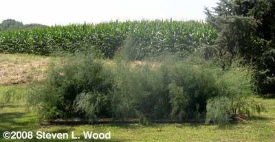Asparagus 2008