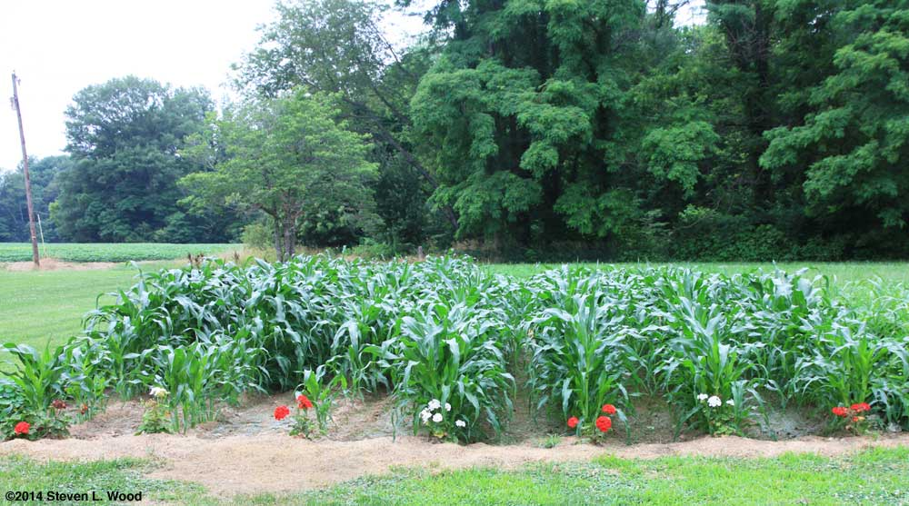 Sweet corn patch on June 30, 2014