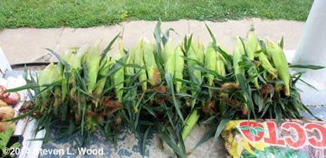 Sweet corn 1