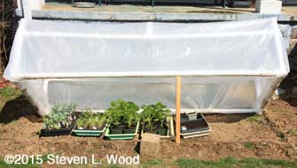 Transplants under cold frame