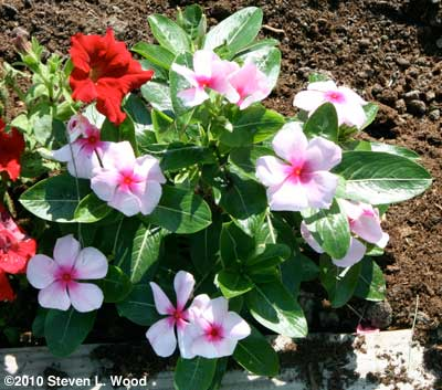 White and pink Vinca