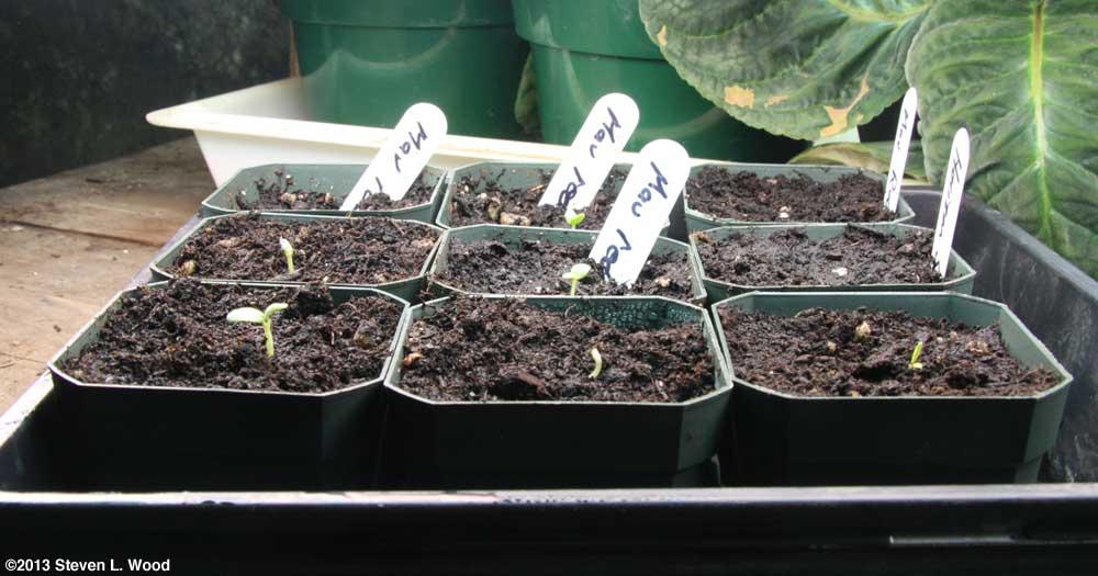 Emerged geraniums