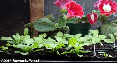 "Petunias Outgrowing 3"" Pots"