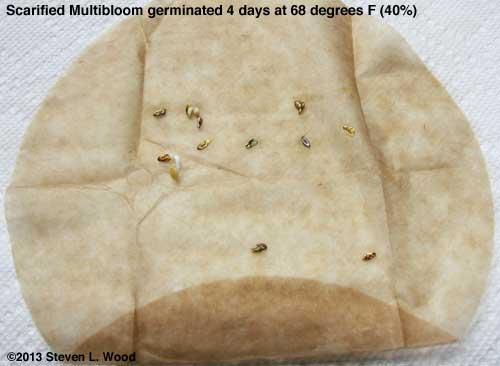 Scarified Multibloom test