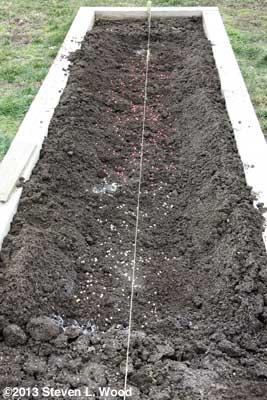 Seeding peas