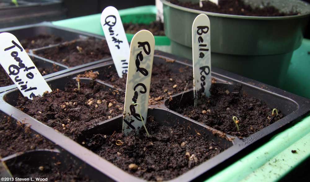 Tomato plants emerging
