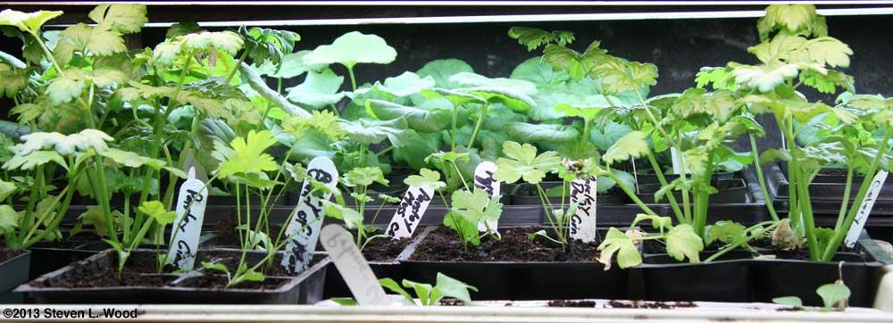 Celery, parsley, geraniums, and petunias