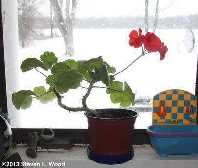 Wife's geranium today