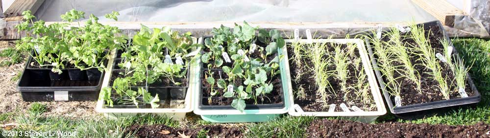 Cold frame plants, March 27, 2013