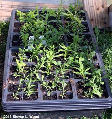 Dianthus seedlings