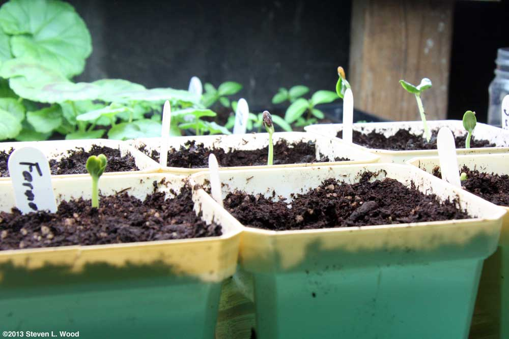 Melons germinating