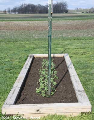 Peas with trellis