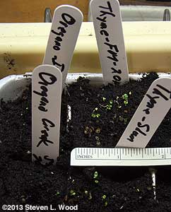Tiny oregano and thyme