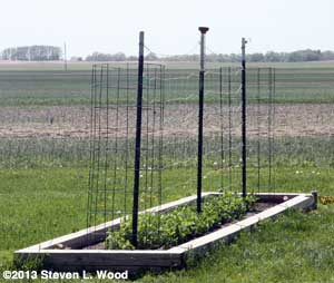 Tomato cages wired to t-posts