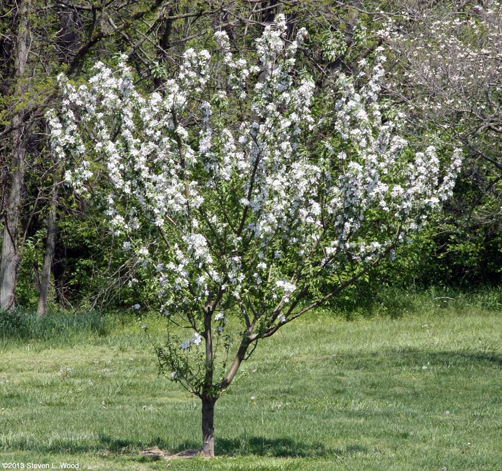 Granny Smith in bloom