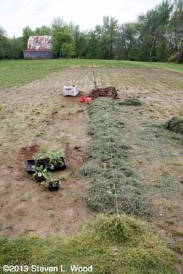 Transplanting broccoli