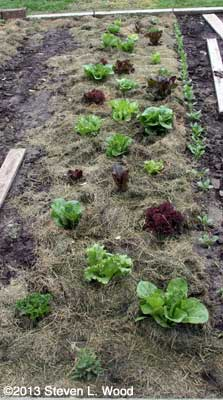 Mulched lettuce